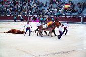 MADRID, SPAIN - OCTOBER 17: Dead bull being dragged out of ring at a bull fight at the Plaza del Toros de Las Ventas in Madrid, Spain on October 17, 2010.