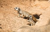 Family Meerkat, mungos, going out from their hole