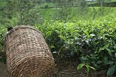 Tea Picker's Basket