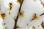 pic of molly  - Snow covered hamamelis mollis blossoms in winter month - JPG