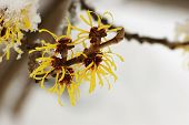 Snow Covered Hamamelis Mollis Blossoms In Winter Month