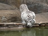 White tiger drinking water