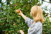 Harvesting Concept. Woman Hold Ripe Apple Tree Background. Farm Producing Organic Eco Friendly Natur poster