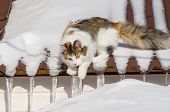 Beautiful Calico Cat Walking On Snowy Roof Of The House Kitty Sitting On The Roof Top On A Sunny Chr poster