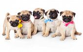 picture of pug  - Five puppies of pug - JPG