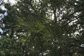 Pine Tree. Pine Branch. Pine Tree Background. Evergreen Tree. poster