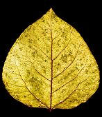 yellow gold aspen leaf