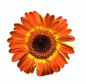 stock photo of gerbera daisy  - big daisy head - JPG