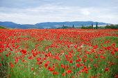 Red Poppies On A Mountain Meadow.flowers Red Poppies Blossom On Wild Field. Beautiful Field Red Popp poster