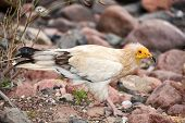 Egyptian Vulture (Neophron percnopterus), Socotra island