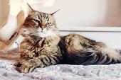 Beautiful  Maine Coon Cat With Green Eyes Resting On Soft Bed In Sunny Evening Light. Tabby Fluffy C poster