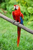 Parrot: scarlet macaw (ara macao)