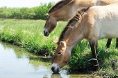 The Horses Of Przewalski. The Horses At The River Drink Water. Horses On The Green Grass Near The Wa poster