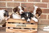 Border Collie Puppy Dog Living In Belgium poster