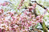 Cherry Blossom Spring Landscape. Blossoming Pink Petals Fruit Tree Branch poster