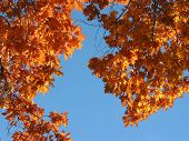 Fall Oak And Blue Sky poster