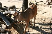 picture of eland  - Eastern Eland Antelope walking around his pin