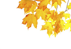 picture of fall leaves  - Fall leaves isolated and backlit with room for text - JPG