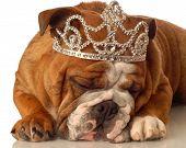 English Bulldog With Tiara
