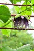 Giant granadilla or Passiflora quadrangularis   L.