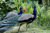 Beautiful  Indian Male Peacocks