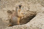 Prairie Dog Standing In Burrows Entrance