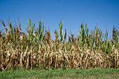 Milharal danificado pela seca