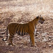 Side profile of a female tigress