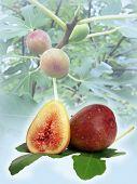 Figs Composite