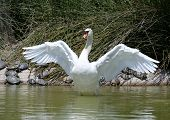 Beautiful White Swan Stretching After A Preening Session On A Big Lake.