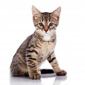 Striped Not Purebred Kitten. poster