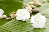 Tropical white flower and stone on wet banana leaf