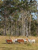 Australische Rinderherde