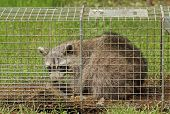 Trapped Raccoon, Procyon Lotor