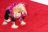 LOS ANGELES - MAY 22:  Lisa Vanderpump`s dog Giggy at the Bravo Media's 2013 For Your Consideration