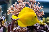stock photo of saltwater fish  - Zebrasoma flavescens  - JPG