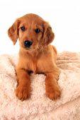 image of golden retriever puppy  - A golden Irish - JPG