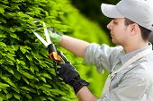 image of prunes  - Professional gardener pruning an hedge - JPG
