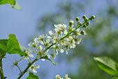 Dehiscing On Plum-tree Flowers
