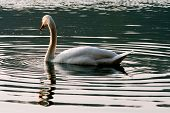 Italy Green Side Swan