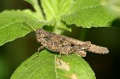 Locust On Green Leaf In The Wild