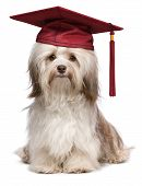 stock photo of eminent  - Beautiful proud graduation chocolate havanese dog with red cap isolated on white background - JPG