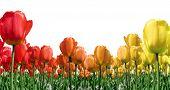 Flame Tulips Border