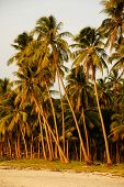 Coconut trees on the beach in the morning