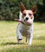 Playful Jack Russell Terrier Wants To Play Ball