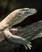 stock photo of komodo dragon  - Juvenile komodo dragon perched on tree branch - JPG