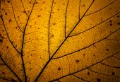 picture of transpiration  - detail of a yellow autumn leaf in backlight - JPG