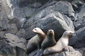 picture of bestiality  - seals lying on the rocks by the sea