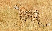 KENYA - MARCH 4: An African Cheetah (Acinonyx jubatus) on the Masai Mara National Reserve safari in