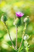 image of scottish thistle  - Thistle flowers in summer on green background - JPG
